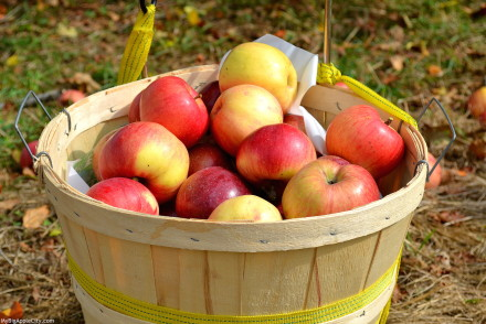 best-of-apple-picking-new-york