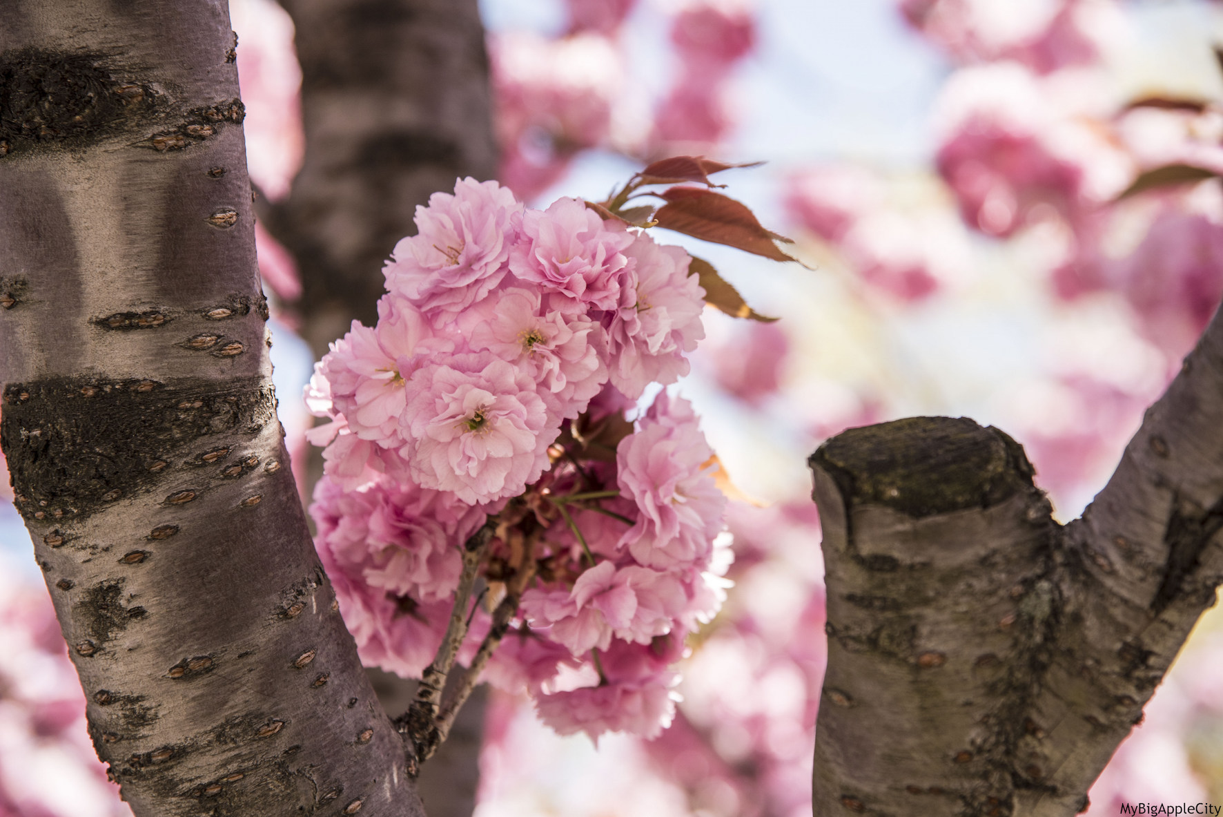 Cherry-blossom-New-York-Spring-Travelblog