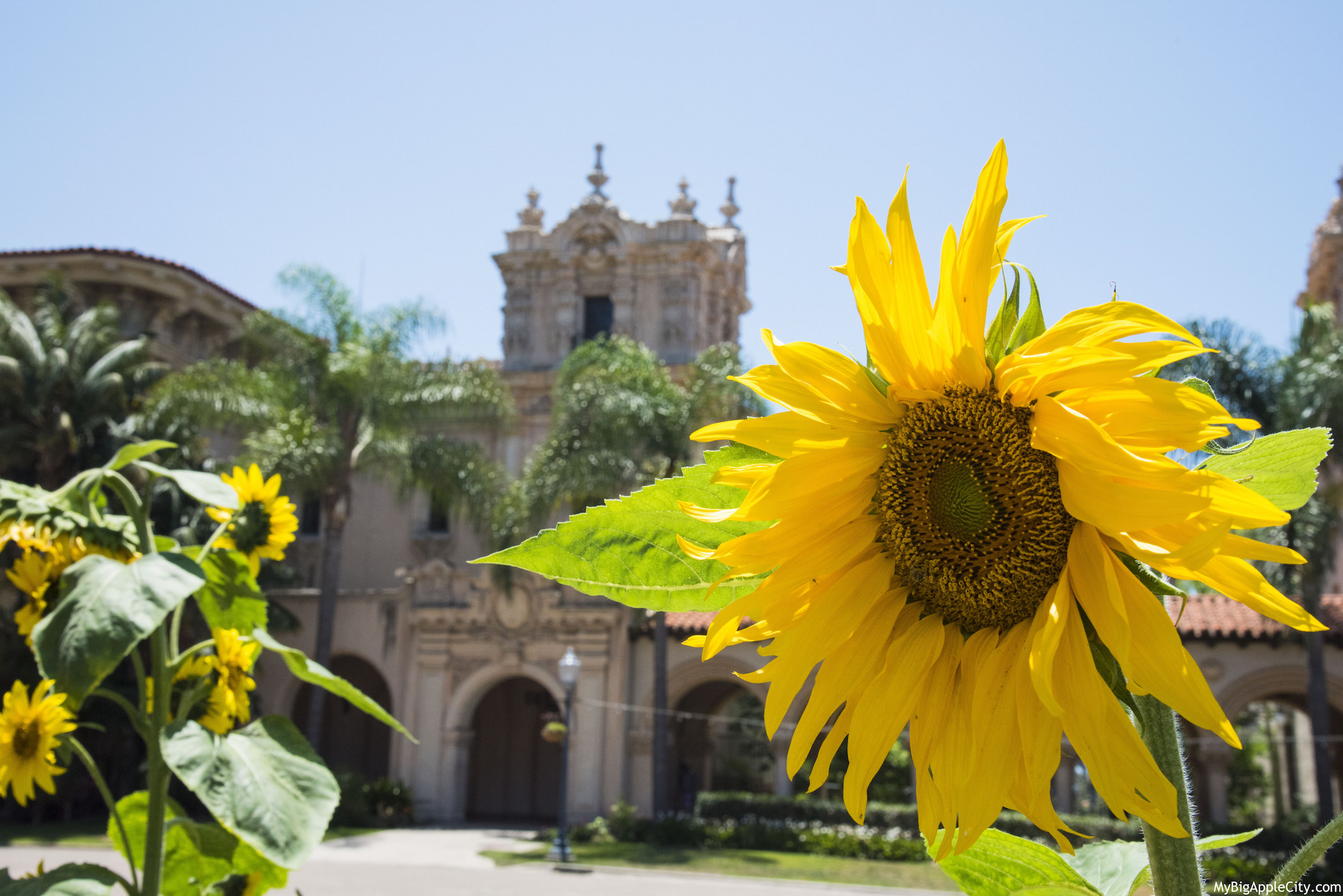 San-Diego-Sunflower-Balboa-park-photography-mybigapplecity