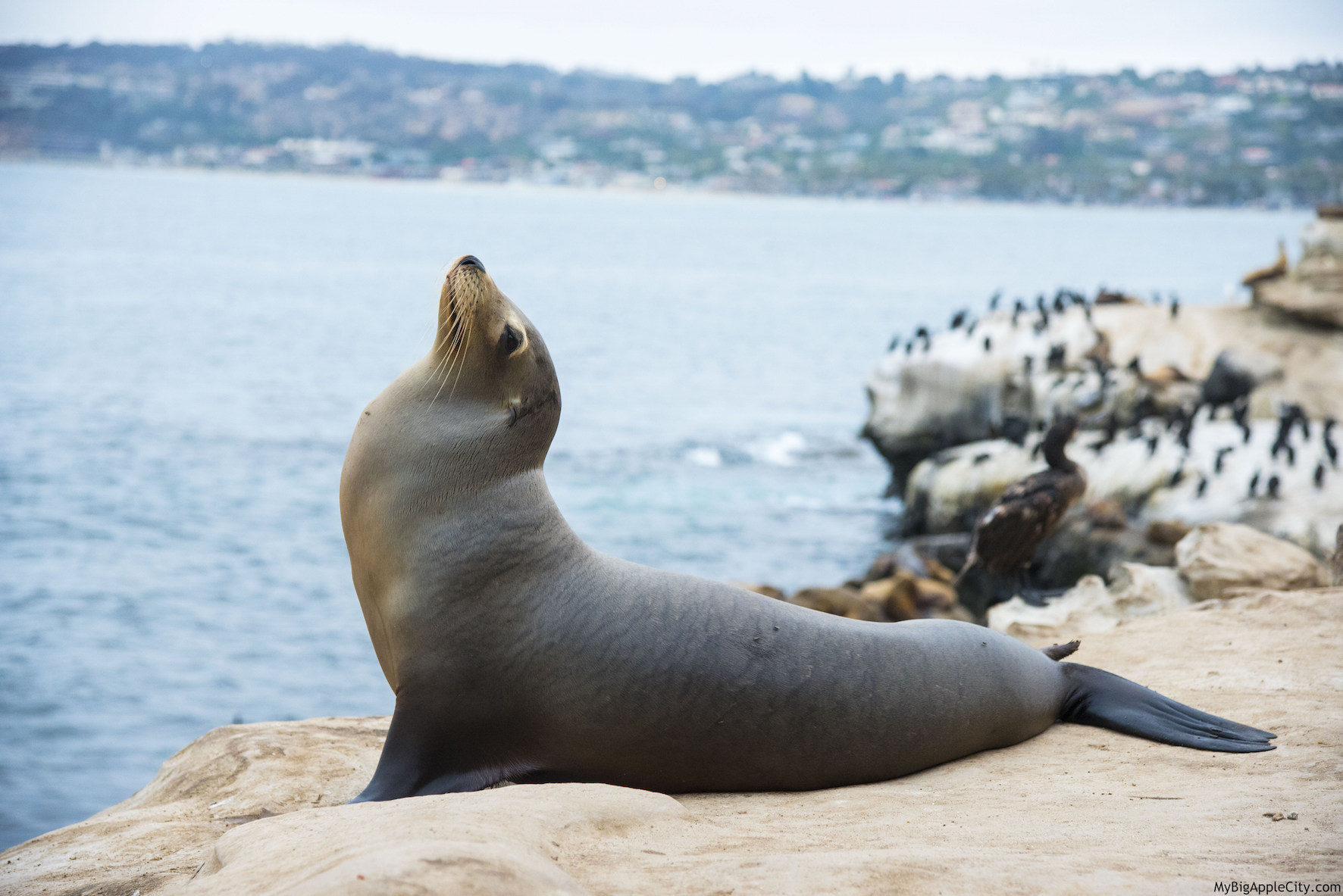 Seal-La-Jolla-San-Diego-Travel-Blogger-USA-MyBigAppleCity