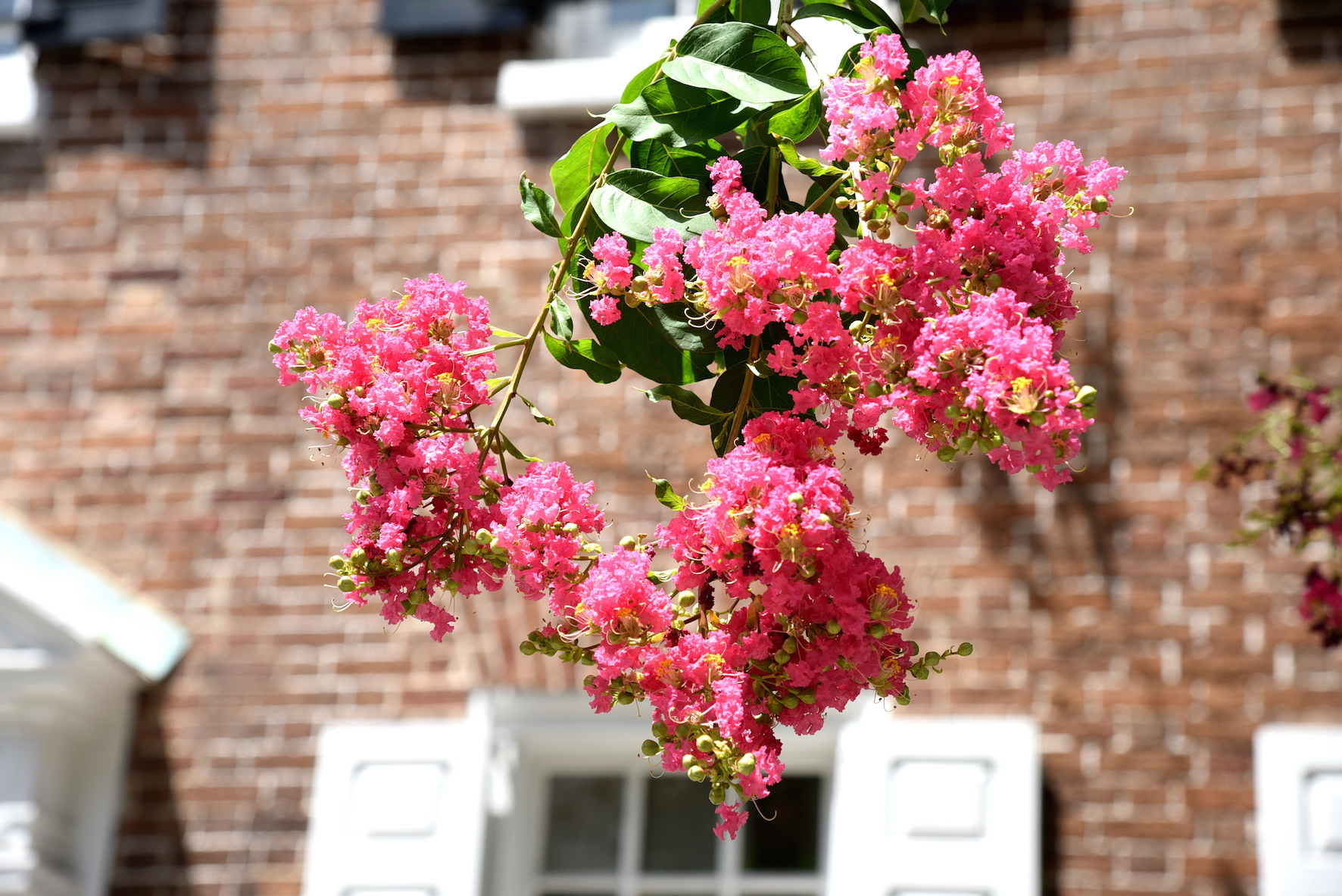 Pink Flowers in Charleston, South Carolina