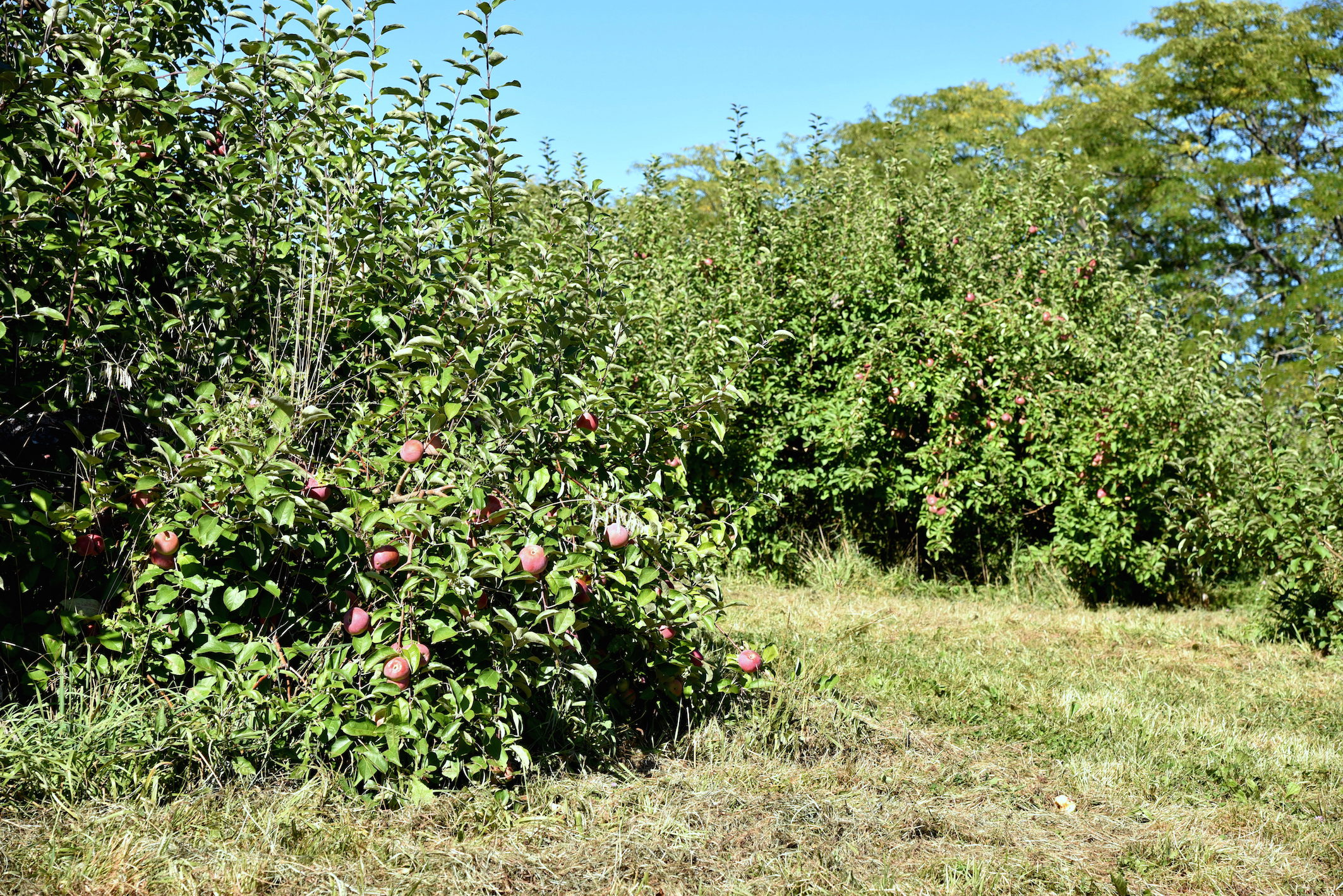 Dog friendly apple picking nyc apple dave 39 s orchards in for Where can i go apple picking near me