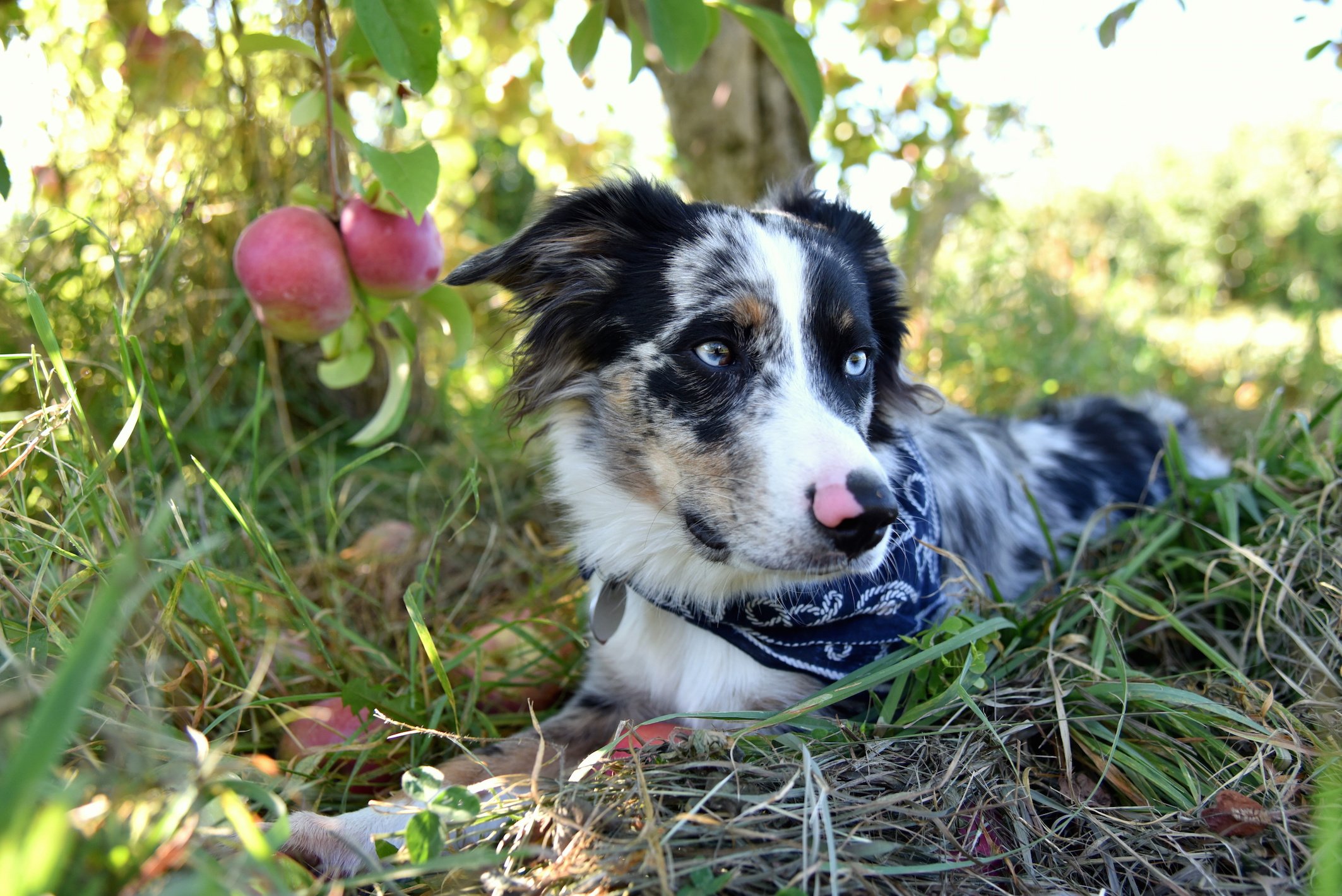 Apple Picking with my dog Upstate New York 2016