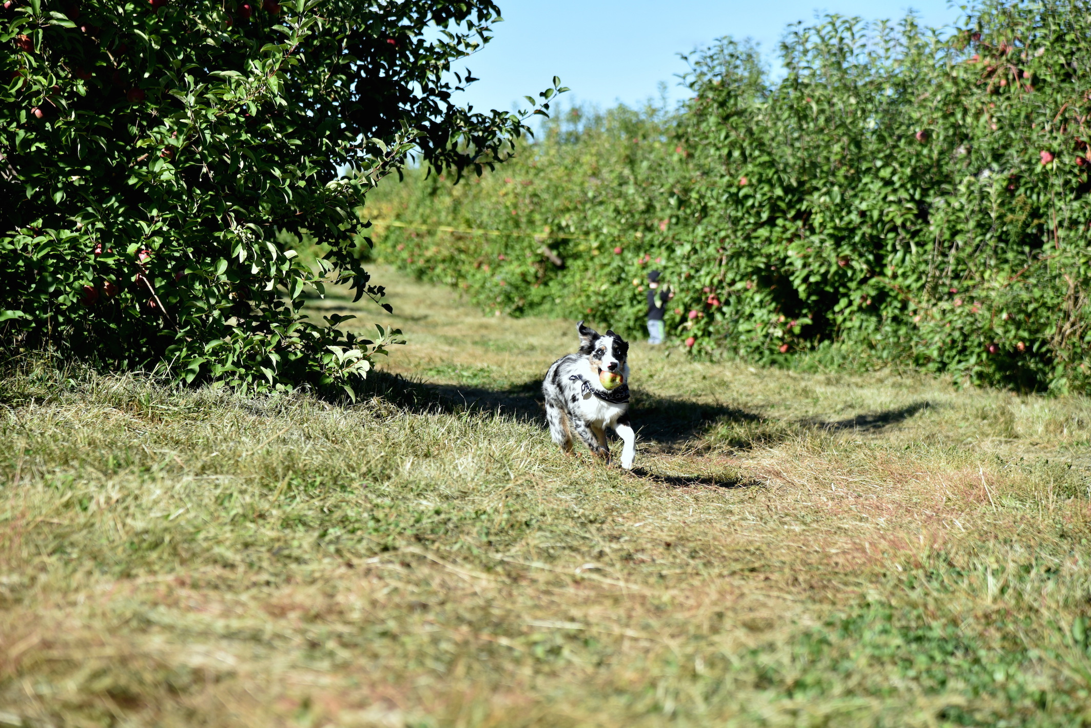 Dog Friendly Apple Picking Place outside New York