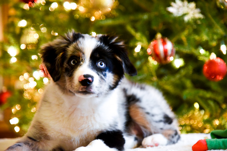 Mini aussie in New York Christmas tree