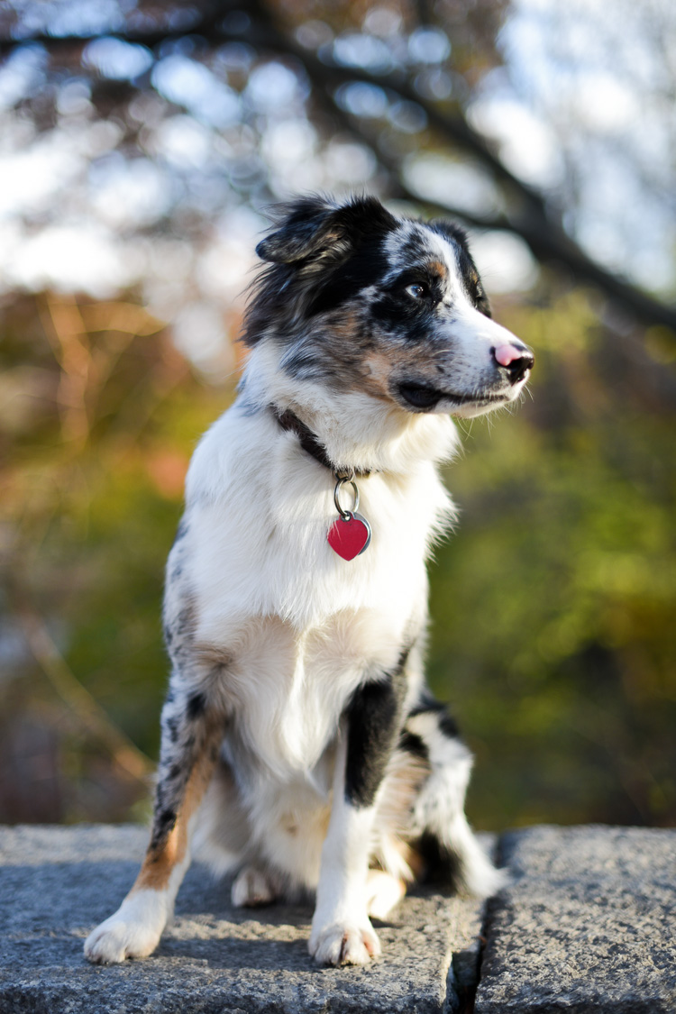 Mini australian shepherd in new york Central Park