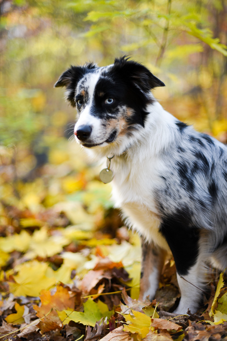 Mini australian shepherd in new york