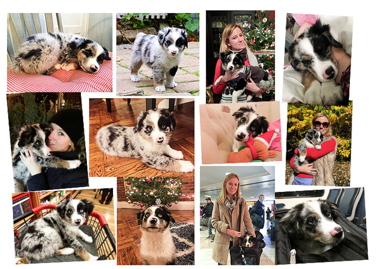 mini australian shepherd nyc Harrison collage