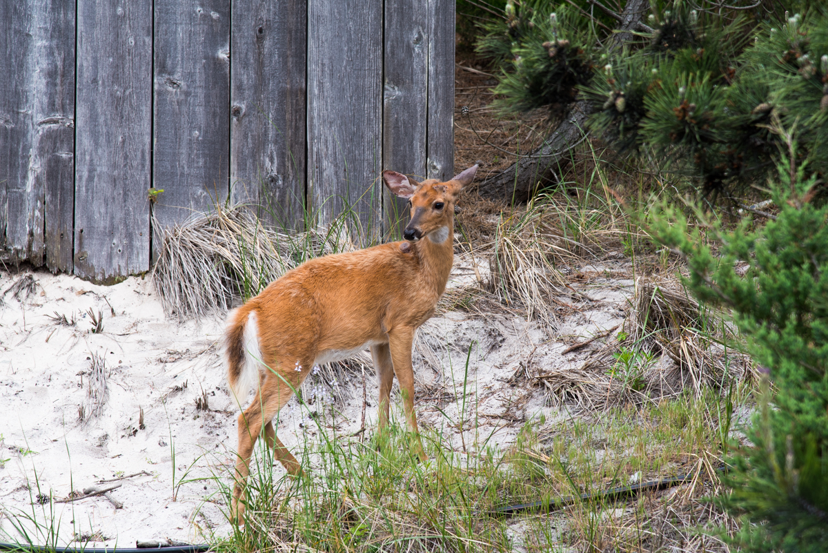 Fire Island Deer Travel New York