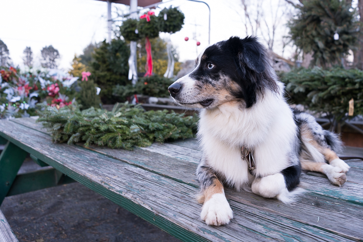 Miniature Australian Shepherd in New York